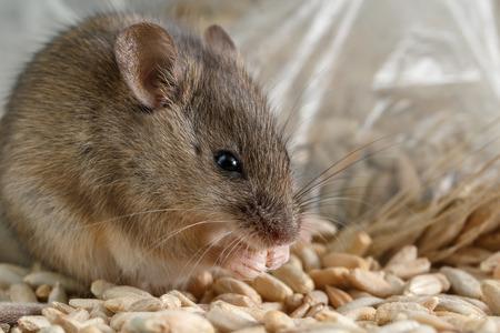 Kleine Maus der Nahaufnahme zerfrisst das ein Korn des Roggens nahe des Pakets des Kornes