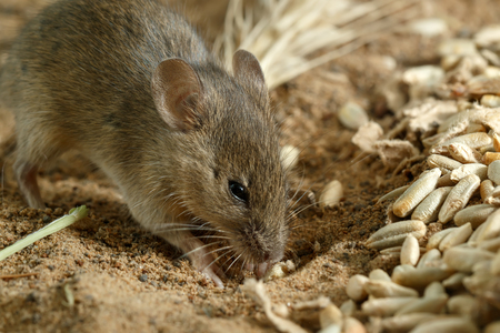 Closeup small  vole mouse digs a hole  near of grains of rye on the field. Fight with rodents.