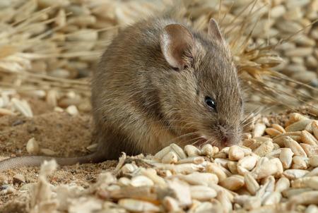 Junge Maus der Nahaufnahme zerfrisst das ein Korn des Roggens innerhalb des Lagerhauses. Kämpfe mit Nagetieren.