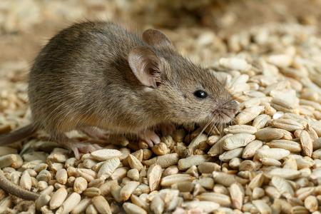 Closeup small vole mouse lurking on pile of grain in a warehouse. Concept of fight with rodents.