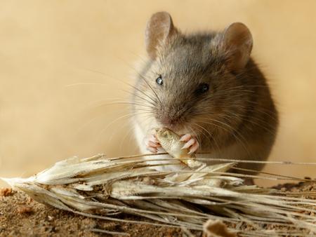 Kleine Wühlmaus der Nahaufnahme isst Korn des Roggens nahe dem Ährchen Roggen auf dem Feld. Konzept des Kampfes mit Nagetieren.