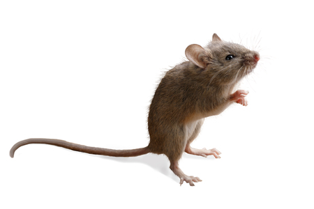 closeup small mouse  stands on its hind legs isolated on white background Standard-Bild - 89539020