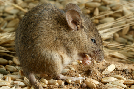 breadbasket: Closeup of a young mouse gnaws the grain of a rye inside a storehouse. Stock Photo