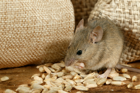 closeup the mouse eats the grain near the burlap bags on the floor of the pantry Standard-Bild - 91462309