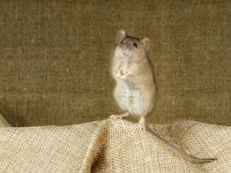 Closeup of the mouse stands on its hind paws on a small linen bag