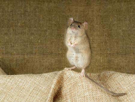 Nahaufnahme der Maus steht auf seinen Hinterpfoten auf einer kleinen Leinentasche