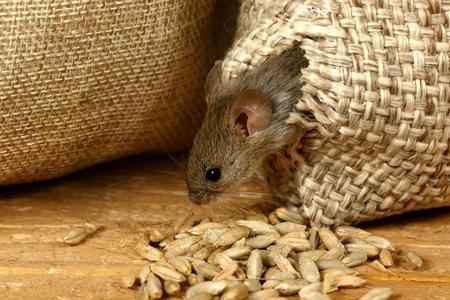 Nahaufnahme der Wühlmaus Maus bekommt aus dem Loch im Sack des Kornes im Lagerhaus Standard-Bild - 92108581