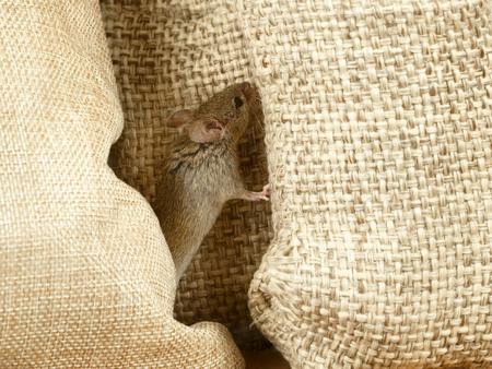 close-up de muis tussen jutezakken in magazijn Stockfoto