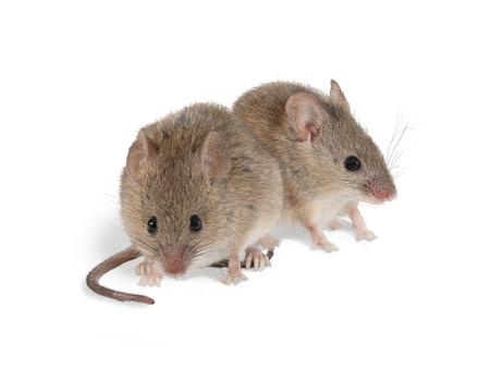 Closeup zwei Wühlmaus Maus sitzt eine Kamera . Isoliert auf weiß Standard-Bild - 92023983