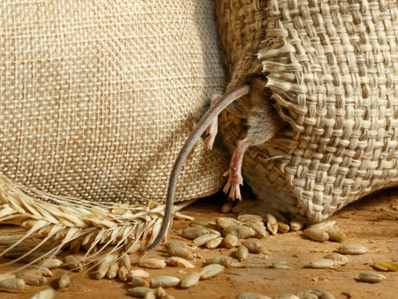 closeup the vole mouse gets in to a hole in the sack of grain in the  storehouse Standard-Bild - 91951018