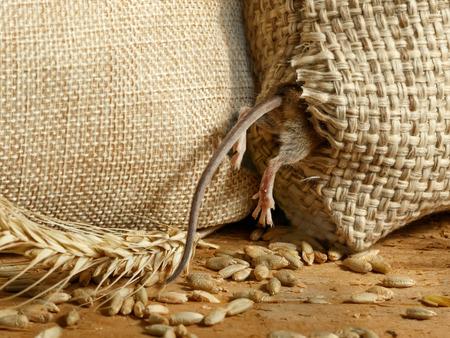 Nahaufnahme die Wühlmausmaus gelangt in ein Loch im Sack Korn im Lagerhaus