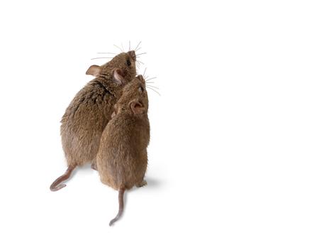 close-up twee woelmuis muis staat en kijkt omhoog. zicht op achterzijde. geïsoleerd op wit Stockfoto