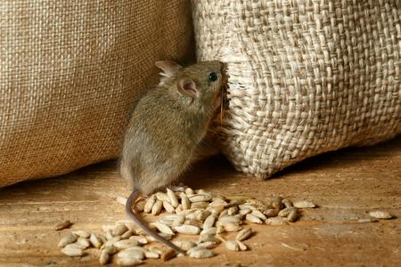 Nahaufnahme der Wühlmaus Maus nagt den Sack des Kornes im Lagerhaus Standard-Bild - 92413964