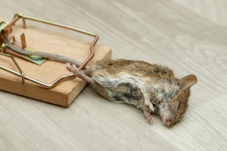 Closeup tote Maus gefangen in Mausefalle Standard-Bild - 92685055