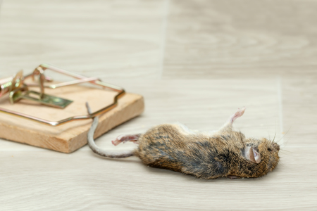 Closeup dead mouse caught in a mousetrap on a gray floor inside house Standard-Bild - 92730878