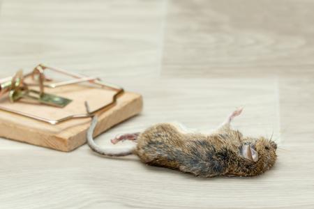Closeup tote Maus gefangen in einer Mausefalle auf einem grauen Boden im Haus Standard-Bild - 92730878