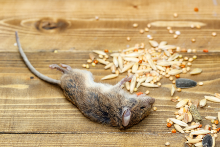 Closeup dead mouse on wooden   floor in storehouses near pile of grain
