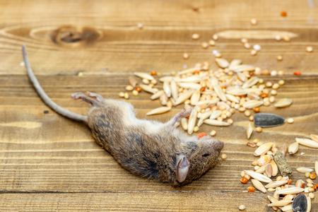 Closeup tote Maus auf Holzboden in Lagerhäusern in der Nähe von Haufen Korn Standard-Bild - 92729456