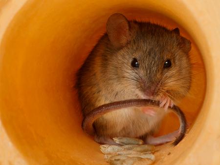 closeup mouse