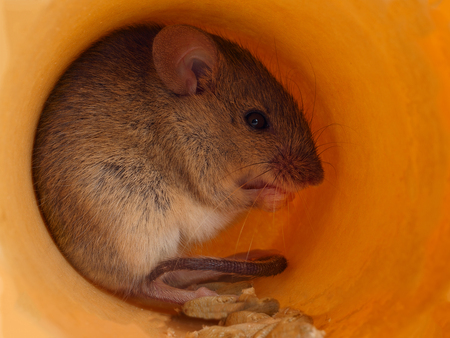 closeup field mouse (Apodemus) eats grain inside of a hole Stock Photo