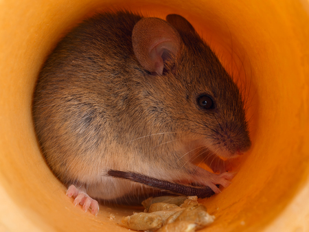 closeup field cute gray mouse (Apodemus) hides inside of hole