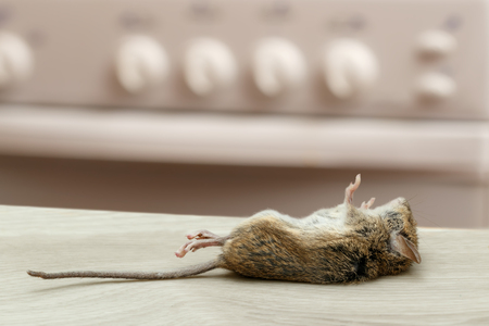 Dead mouse in an apartment kitchen. Inside high-rise buildings. Fight with rodent in the apartment. Extermination. Standard-Bild