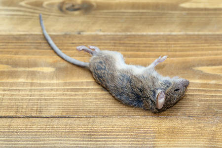 Closeup of dead mouse Stock fotó