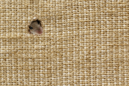 closeup the head of the field mouse (Apodemus agrarius) peeps from the holes in the linen sack, in left up corner. background with plenty of space for text Standard-Bild