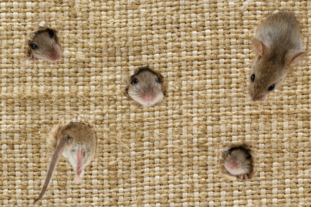 closeup the heads of the field mouses (Apodemus agrarius) peeps from the holes in the linen sack, one mouse climbs into the hole.