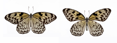 Set of two beautiful white tropical butterflies Idea leuconoe isolated on white.