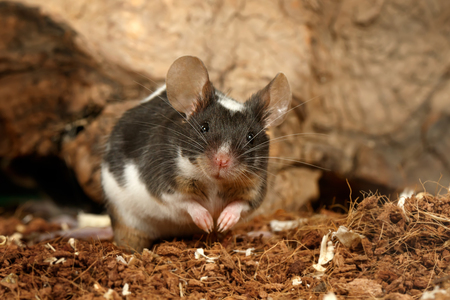 Closeup of a black and white decorative mouse stands near a hole in old wood and looking at camera Standard-Bild