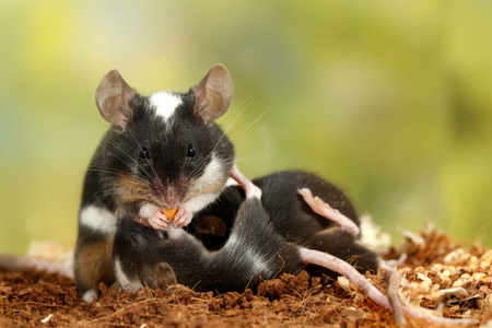 Closeup black and white decorative mouse (M.m.molossinus) eats the carrots and breastfeed the offspring
