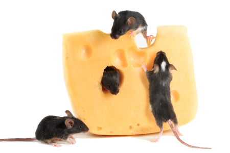 closeup four young mice on piece of cheese on white background Standard-Bild