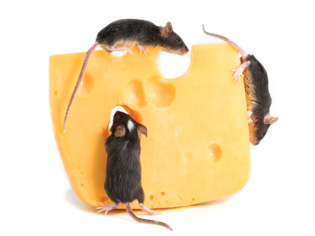 closeup three young mice on piece of cheese on white background Stock Photo