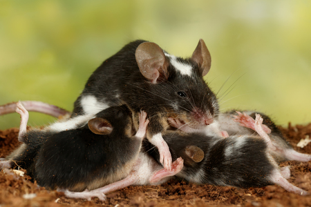 Closeup black and white decorative mouse (M.m.molossinus) breastfeed the offspring on green leaves background Stok Fotoğraf