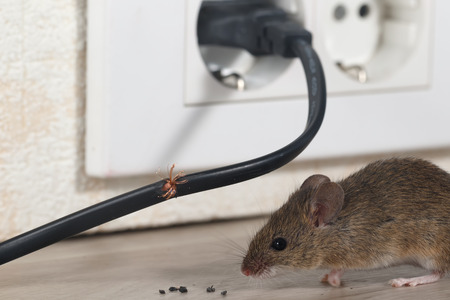 Closeup of mouse sits near chewed wire in an apartment apartment on the background of the wall and electric outlet. Inside high-rise buildings. Fight with mice in the apartment. Extermination. Small DOF focus put only to wire. Stock Photo