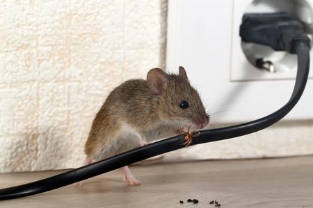 Zbliżenie myszy gryzie drut w kamienicy na tle ściany i gniazdka elektrycznego. Wewnątrz wieżowców. Walcz z myszami w mieszkaniu. Eksterminacja. Małe skupienie DOF umieszczone tylko na drutach.