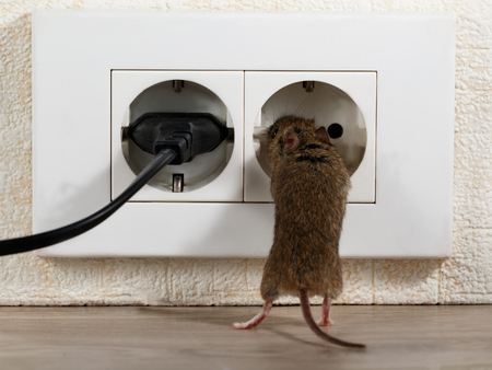 closeup the mouse stands on its hind legs and climbs in at electric outlet