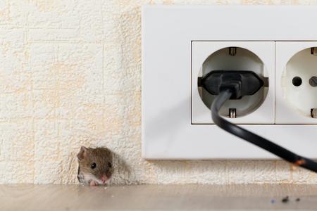 Nahaufnahme Maus (Mus musculus) guckt aus einem Loch in der Wand mit Steckdose. Mäusekontrollkonzept. Vernichtung.