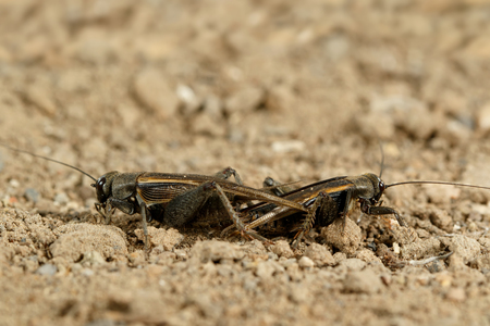 Closeup mating crickets (Melanogryllus desertus) on a sand in the desert at sunny day.