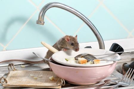 Jonge rat (Rattus norvegicus) klimt in de schaal op de gootsteen bij de keuken. Vecht met knaagdieren in het appartement. Uitroeiing.