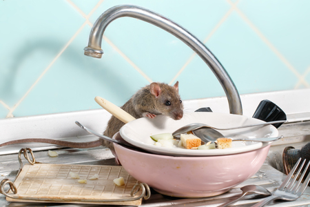 Young rat (Rattus norvegicus) climbs into the dish on the sink at the kitchen. Fight with rodents in the apartment. Extermination. 免版税图像 - 117179744