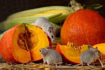 Close-up three young grey mouse near  slice of orange pumpkin in the warehouse. Stockfoto