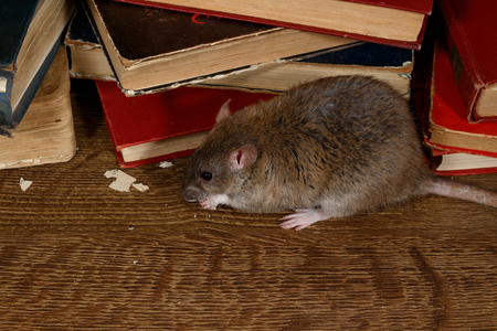 Close-up the rat (Rattus norvegicus) chewing paper near pile of old books on the flooring in the library.  Top view with copy space.