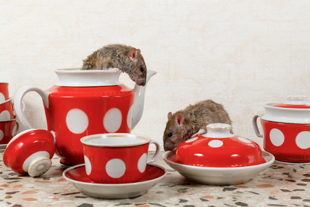 Closeup two rats (Rattus norvegicus) and  red tea set on countertop at kitchen in an apartment house.  One rat sits in the  teapot and looking at the second rat