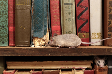 Close-up two young mice on  the old books on the shelf in the library. Concept of rodent control. 免版税图像