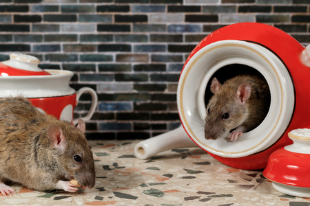 Close-up two rats (Rattus norvegicus) on countertop at kitchen.  One rat eats, second rat looks at her from teapot. Stock Photo