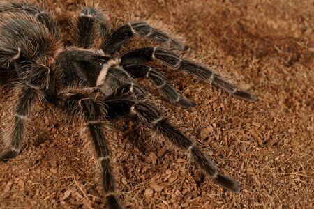 Closeup female of spider tarantula  (Lasiodora parahybana)