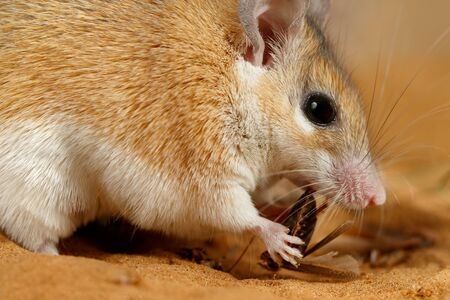 Close-up female spiny mouse (Acomys cahirinus) eats insect on the sand. Small DoF focus put only to head of mouse.