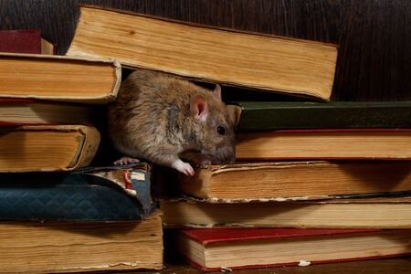 Close-up the rat (Rattus norvegicus) rat on the pile of old books in the library. Concept of rodent control.